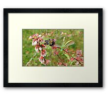 Bumble Bee on a Blueberry Bloom Framed Print