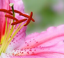 Pink Lily, very close by cclaude
