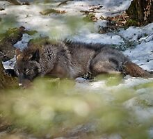 Sleeping Black wolf by Michael Cummings