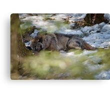 Sleeping Black wolf Canvas Print