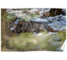 Sleeping Black wolf Poster