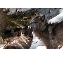 Black Wolves Photographic Print