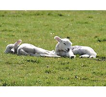 It's Tiring Being A Cute Lamb Photographic Print