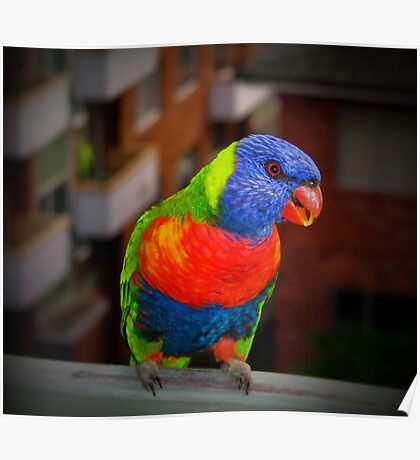 Lorikeet - Three-coloured guest Poster