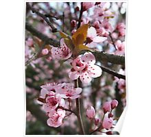 Spring Plum Blossoms Poster