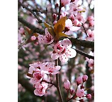 Spring Plum Blossoms Photographic Print