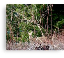 White Tailed Deer through Brush Canvas Print