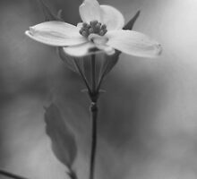Easter Dogwood by BrianDawson