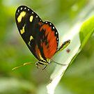 Resting Butterfly by Joy Fitzhorn