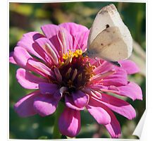 White Cabbage Butterfly on Zinnia Poster