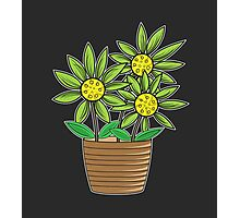 Potted Sunflowers Photographic Print