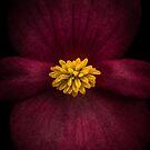 Begonia Macro by alan shapiro
