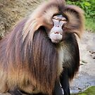Baboon Looking At Me by daphsam