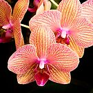 Orchid Show Favorite by Robert Kelch, M.D.