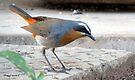 Cape robin by Elizabeth Kendall