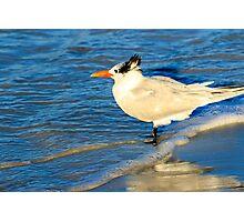 Royal Tern Photographic Print