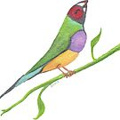 The Lady Gouldian by Amy-Elyse Neer