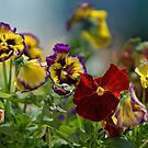 Pansies by KatMagic Photography