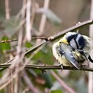 Blue Tit (Cyanoses caeruleus) - Preening by Chris Monks