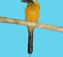 Blue-Crowned Motmot by hummingbirds