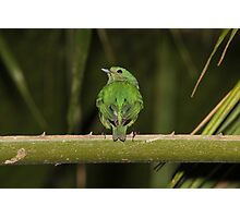 Female Blue-Crowned Manakin Photographic Print