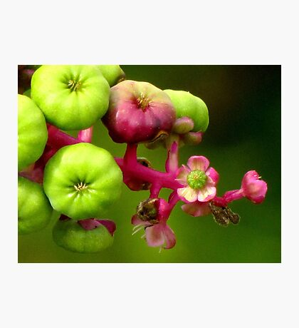 Poke Flower Changing To Berries Photographic Print