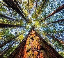 Redwood Heaven Reach by SeeOneSoul