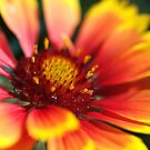 Blanket Flower by Joy Watson