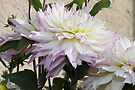 Creamy Dahlias With Lavender Fringed Petals by Sandra Foster