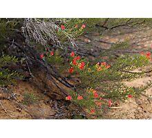 Red Wildflower Photographic Print