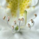 White Rhododendron close and personal by nastruck