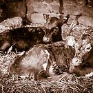Calfs on the farm by Robert  Taylor