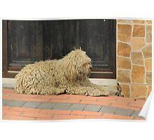 Shaggy White Dog Poster