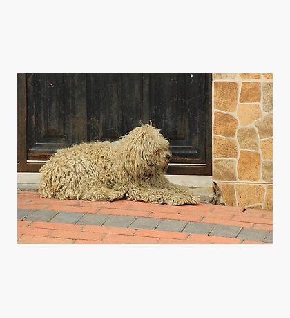 Shaggy White Dog Photographic Print