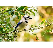 Blue Jay Photographic Print