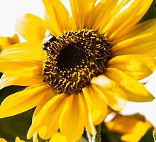 Sunflower by Robert  Taylor