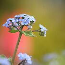 Forget-Me-Nots by Tracy Friesen