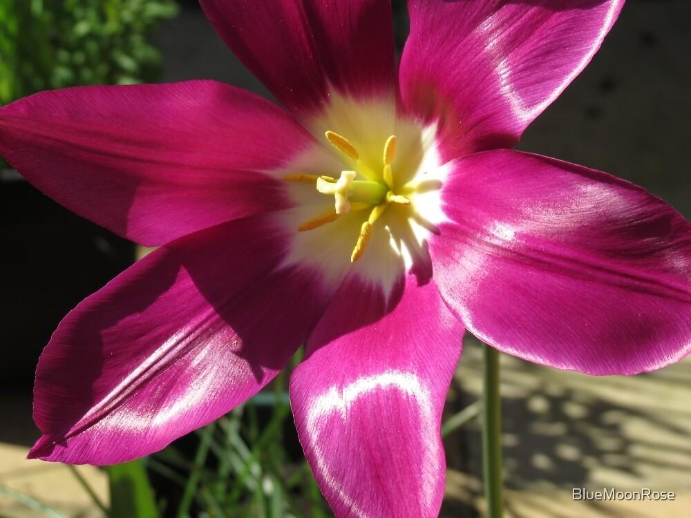 Purple Tulip Macro by BlueMoonRose