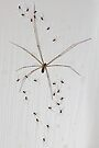 Daddy-Long-Legs Spider & Babies by Carole-Anne