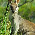 Pretty Face Wallaby by Penny Smith