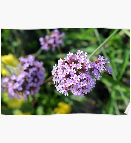 Macro on purple flowers in the garden. Poster