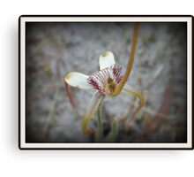 Aussie Spider Orchid Canvas Print