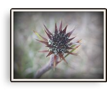 Spikey Beauty Australian Canvas Print
