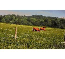 """""""Cattle Grazing """"... prints and products Photographic Print"""