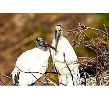 Wood Storks Photographic Print