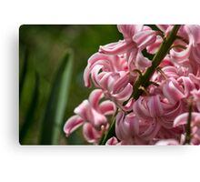 Pink and White Hyacinth Macro Canvas Print
