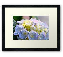 Spring Hydrangeas Framed Print