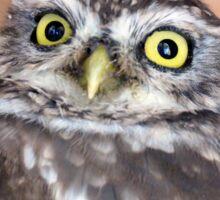 The Little owl - NZ Sticker
