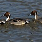 Three Pintails by Yampimon