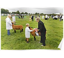 Agricultural Show sheep competition Poster